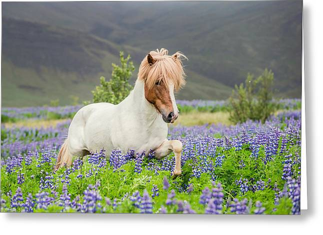 Domesticated Flower Greeting Cards - Icelandic Horse Running In Lupine Greeting Card by Panoramic Images