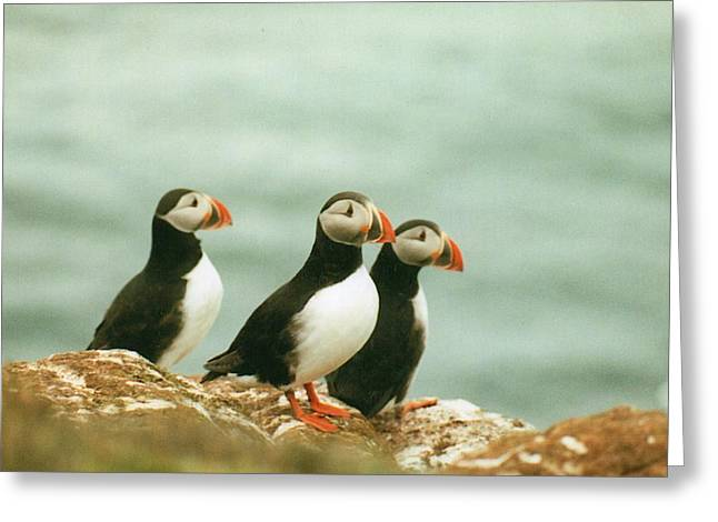 Seabirds Greeting Cards - Idelandic Puffins Greeting Card by Carlos Romero