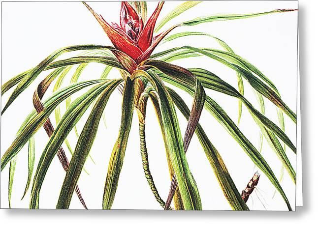 Hawaiian Vintage Art Greeting Cards - Ieie Plant Greeting Card by Hawaiian Legacy Archive - Printscapes