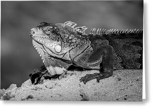 Iguana Bw Greeting Card by Jean Noren