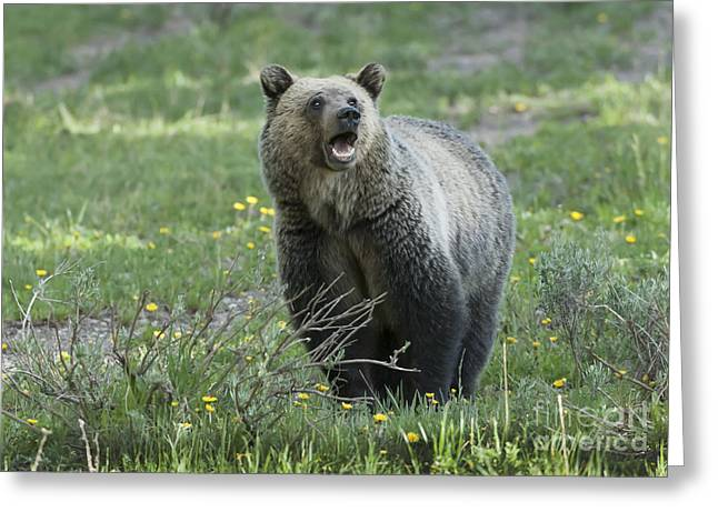 North American Wildlife Photographs Greeting Cards - Ill Only Say This Once Greeting Card by Sandra Bronstein
