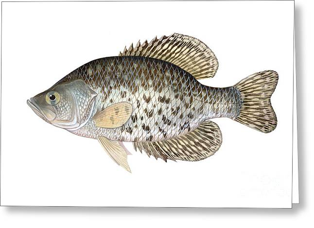 Crappies Greeting Cards - Illustration Of A Black Crappie Greeting Card by Carlyn Iverson