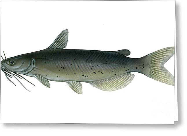 Illustration Of A Channel Catfish Greeting Card by Carlyn Iverson