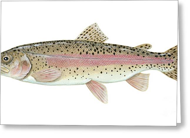 Brown Trout Image Greeting Cards - Illustration Of A Rainbow Trout Greeting Card by Carlyn Iverson
