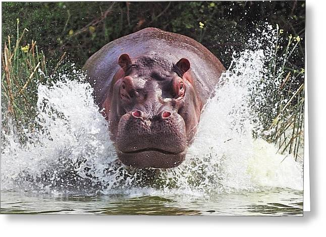 Hippos Greeting Cards - Im Going To Get You !! Greeting Card by Wayne Pearson