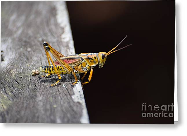 Romalea Microptera Greeting Cards - Im Not Going To Jump Greeting Card by Don Columbus