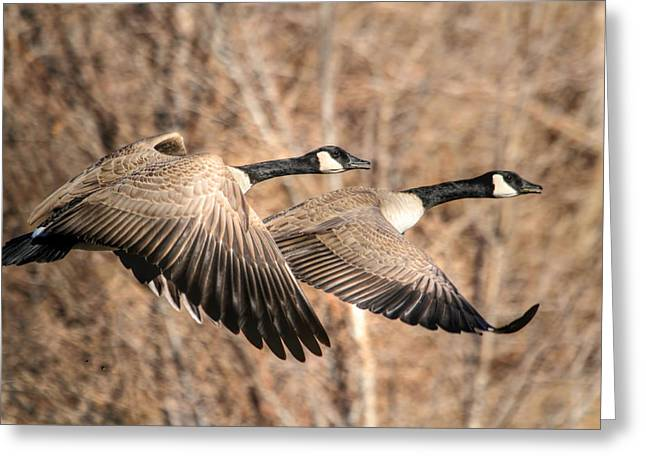 Geese Greeting Cards - Im Right Behind Ya Greeting Card by Donna Kennedy