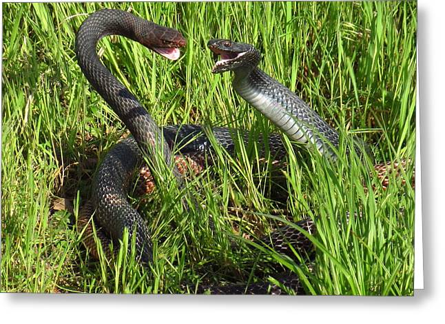 Coachwhip Snakes Fighting Greeting Card by John Myers