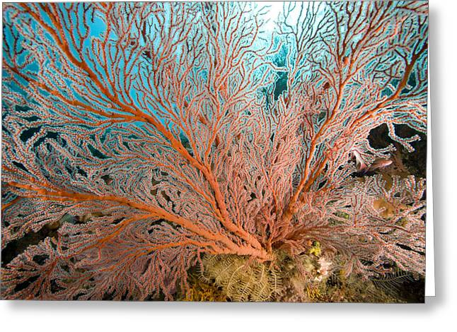 Sea Fan Greeting Cards - Image Of A Large Sea Fan, Also Called Greeting Card by Tim Laman