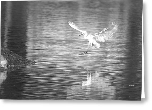 Hunting Bird Greeting Cards - Immature Little Blue Heron Prepared For Landing Bw Greeting Card by Roy Williams