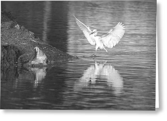 Hunting Bird Greeting Cards - Immature Little Blue Heron Touch Down Bw Greeting Card by Roy Williams