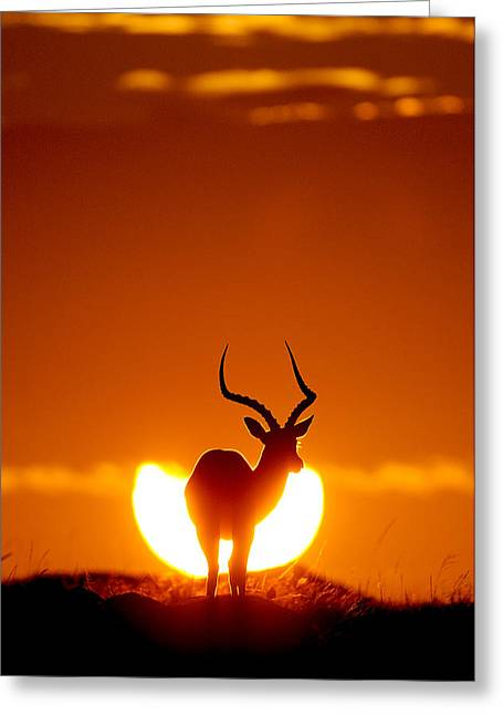 Sunrise Greeting Cards - Impala In The Sun Greeting Card by Muriel Vekemans