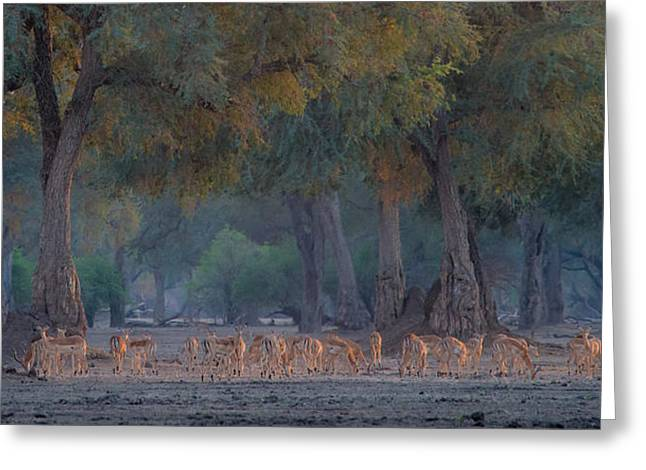 Zimbabwe Photographs Greeting Cards - Impalas At Dawn Greeting Card by Giovanni Casini