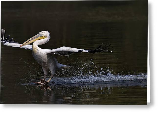 Pelicans Greeting Cards - In Balance Greeting Card by C.s.tjandra