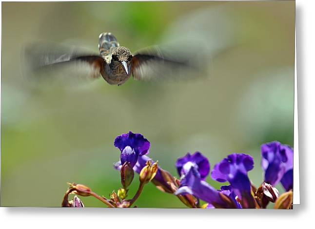 Wildlife In Gardens Greeting Cards - In Coming a hummingbirds Story Greeting Card by Laura Mountainspring
