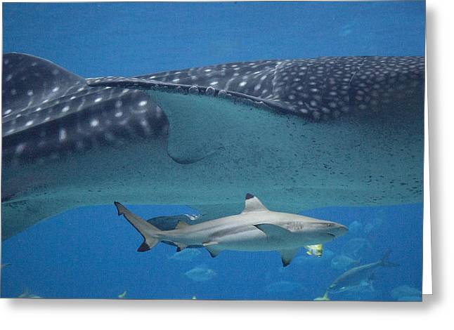 Whale Photographs Greeting Cards - In Good Company Greeting Card by Betsy C  Knapp