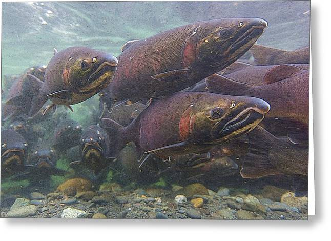 Coho Salmon Greeting Cards - In the Salmon Steam Abstract Greeting Card by Tim Grams