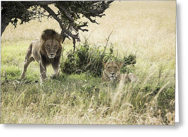 Lioness Greeting Cards - In the Shade of the Tree Greeting Card by Barry Aldridge