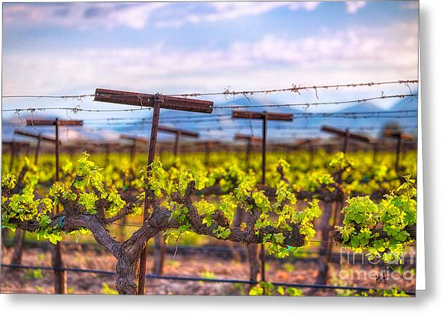 Grape Vineyard Greeting Cards - In the Vineyard Greeting Card by Anthony Michael Bonafede