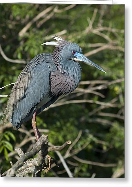 Egretta Tricolor Greeting Cards - In The Wild Greeting Card by Carolyn Marshall