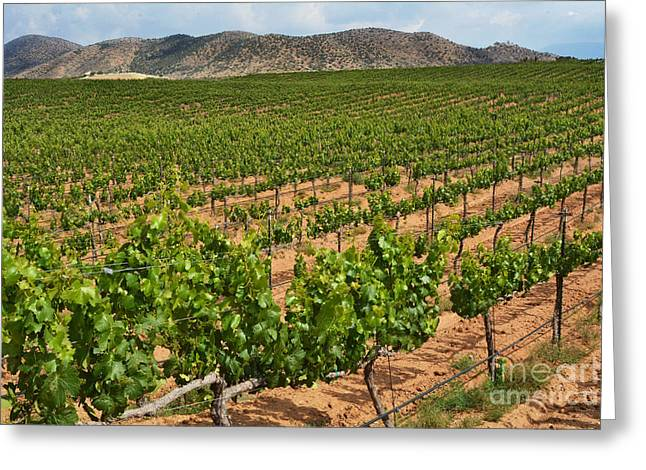 Winery Photography Greeting Cards - In The Vinyard Greeting Card by Dan Holm