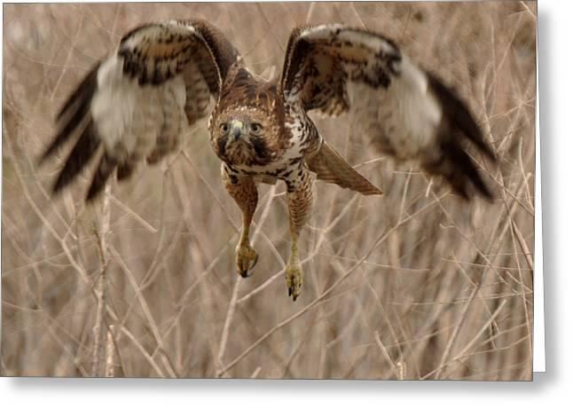 Inbound Red Tail Hawk Greeting Card by Matt MacMillan