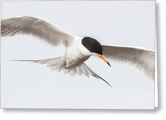 Tern Greeting Cards - Incoming tern Greeting Card by Ruth Jolly