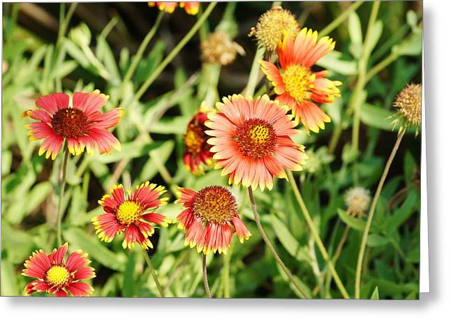 Tangerine Greeting Cards - Indian Blanket Greeting Card by Lynda Dawson-Youngclaus