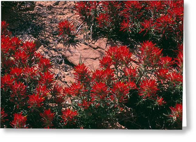 Indian Paintbrush Ut Greeting Card by Panoramic Images