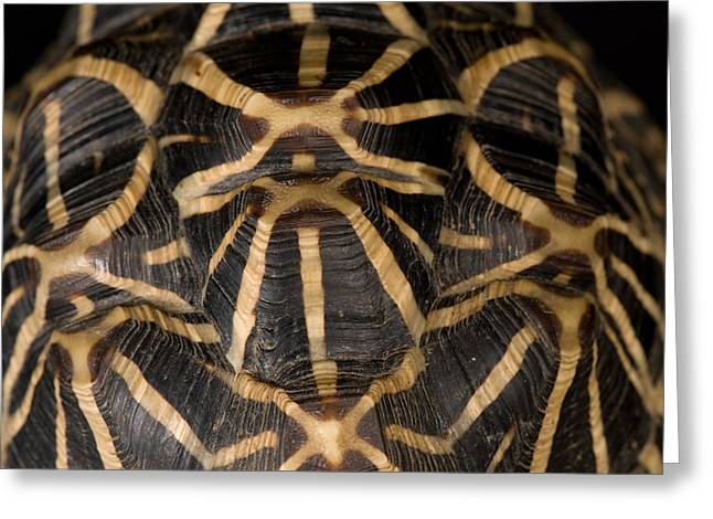 Sunset Zoo Greeting Cards - Indian Star Tortoise Geochelone Elegans Greeting Card by Joel Sartore