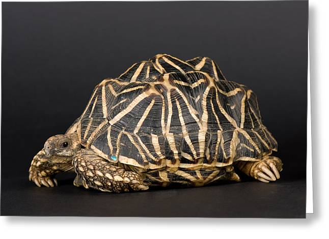 Sunset Zoo Greeting Cards - Indian Star Tortoises Geochelone Greeting Card by Joel Sartore