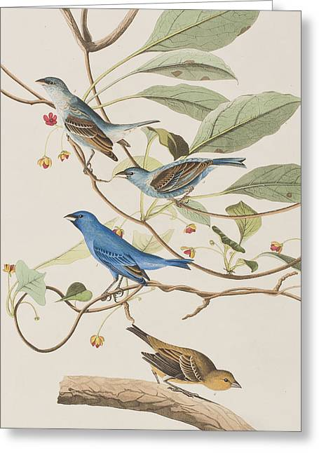 Finch Greeting Cards - Indigo Bird Greeting Card by John James Audubon