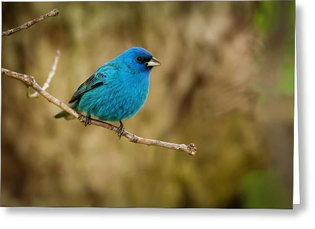 Indigo Bunting Bird Greeting Card by Chad Davis