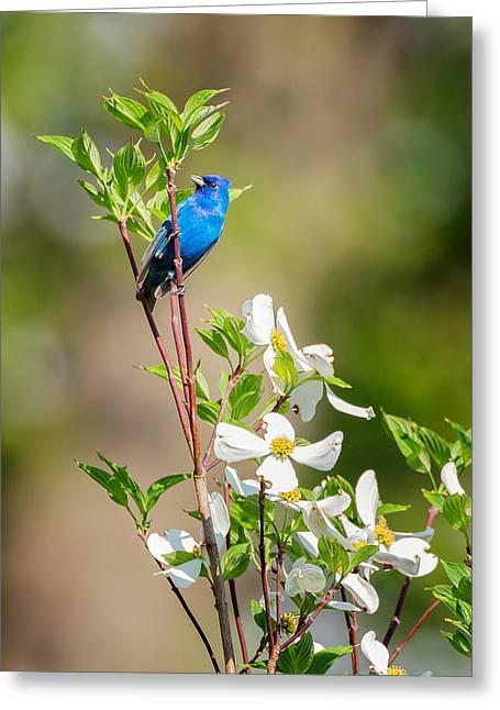 Migratory Bird Greeting Cards - Indigo Bunting in Flowering Dogwood Greeting Card by Bill Wakeley