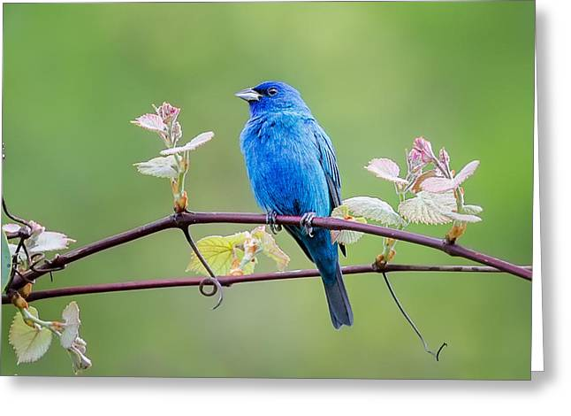 Indigo Bunting Perched Greeting Card by Bill Wakeley