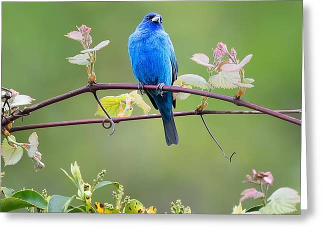 Indigo Bunting Perched Square Greeting Card by Bill Wakeley