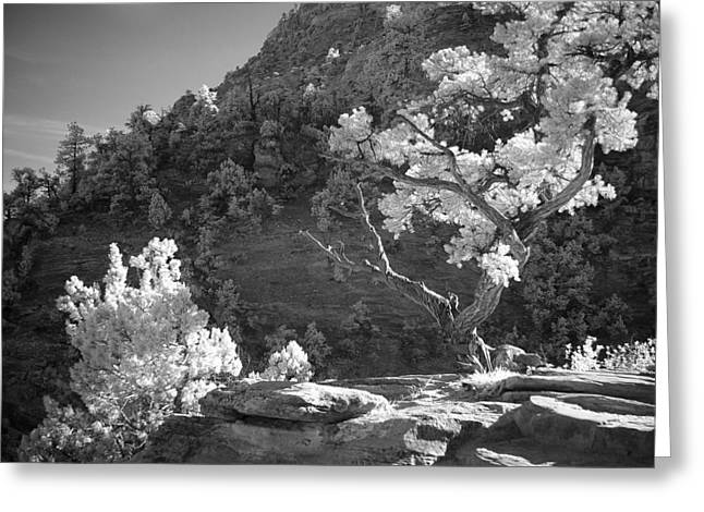 Gnarly Greeting Cards - Infrared Photo of a Twisted Pine Tree Greeting Card by Rikka-chan