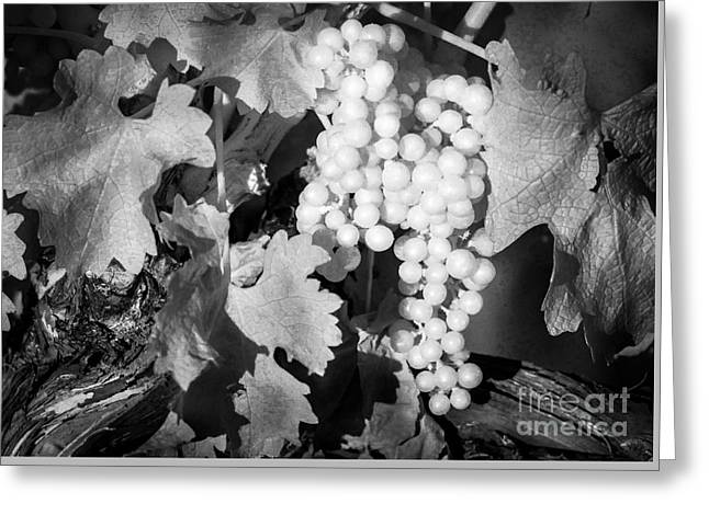 Grape Vineyard Greeting Cards - Infrared White Grapes Greeting Card by Ken Andersen