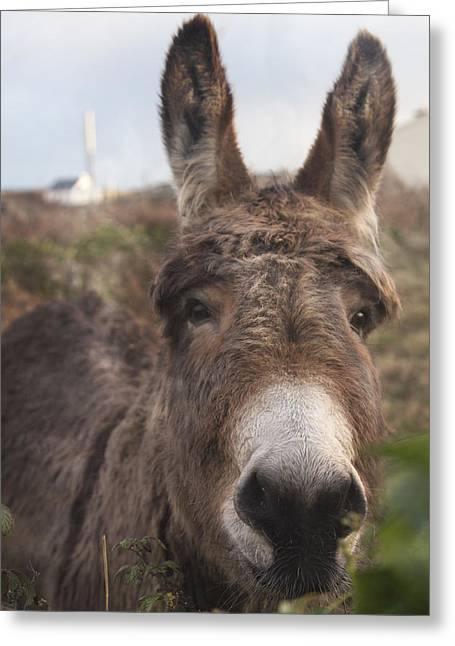 Barrow Greeting Cards - Inishmore Island Adorable Donkey Greeting Card by Betsy C  Knapp