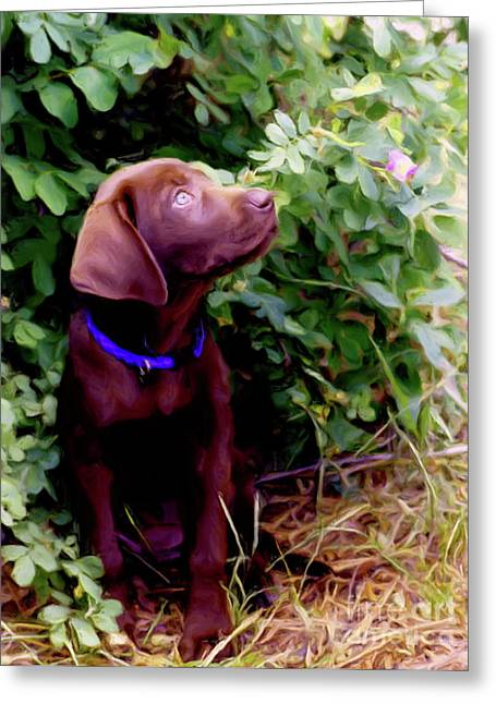 Chocolate Lab Mixed Media Greeting Cards - Inquisitive  Greeting Card by Laurel Sherman