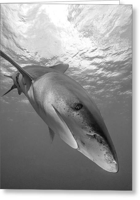 Snorkel Greeting Cards - Inquisitive Oceanic White Tip Shark Greeting Card by Brent Barnes