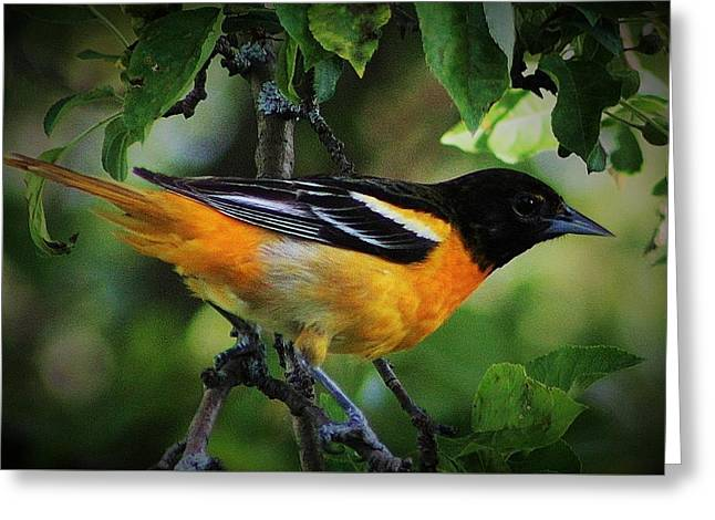Inquisitive Oriole Greeting Card by Bruce Bley