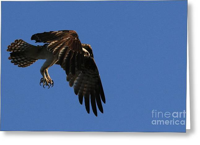 Hunting Bird Greeting Cards - Intensity Greeting Card by Craig Corwin