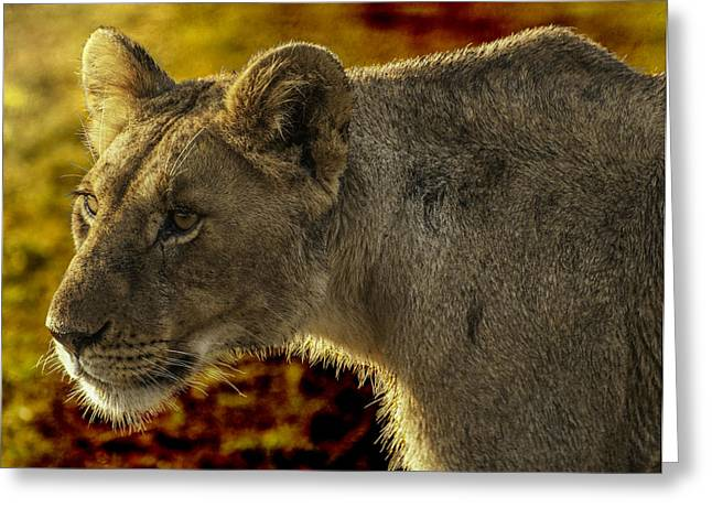 Lioness Greeting Cards - Intent Lioness Greeting Card by Peggy Blackwell