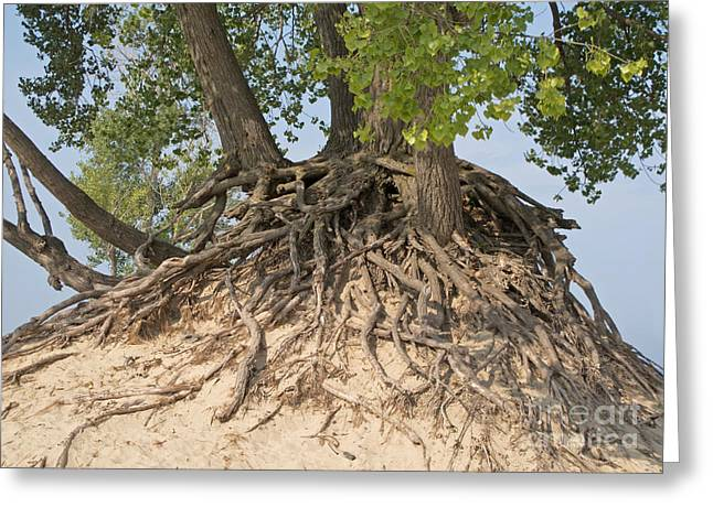 Tree Roots Greeting Cards - Interdependence Greeting Card by Ann Horn
