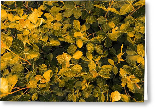 Artistic Photography Greeting Cards - Glowing Foliage Greeting Card by Jerod Scheiferstein