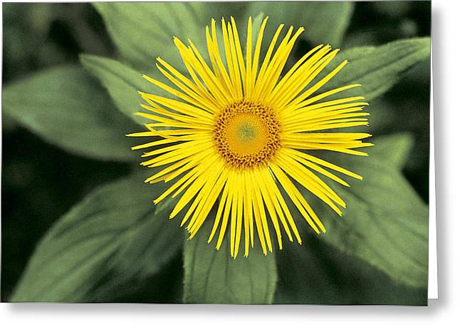 Yellow Leaves Greeting Cards - Inula grandiflora Greeting Card by American School