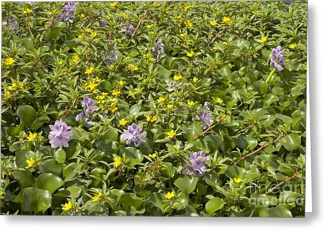 Aquatic Plant Greeting Cards - Invasive Aquatic Plants Greeting Card by Inga Spence