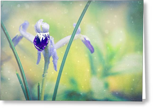 Iris Dreams - Iris Reticulata Greeting Card by Priya Ghose