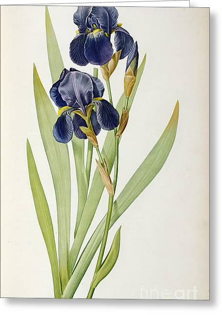 Purple Greeting Cards - Iris Germanica Greeting Card by Pierre Joseph Redoute